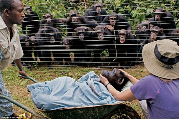 chimpanzees mourn the death of a tribe member